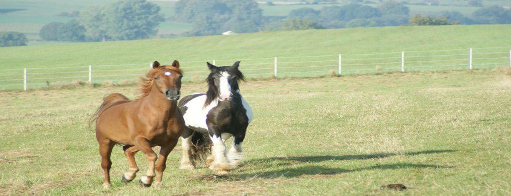 Lahmheiten Pferd
